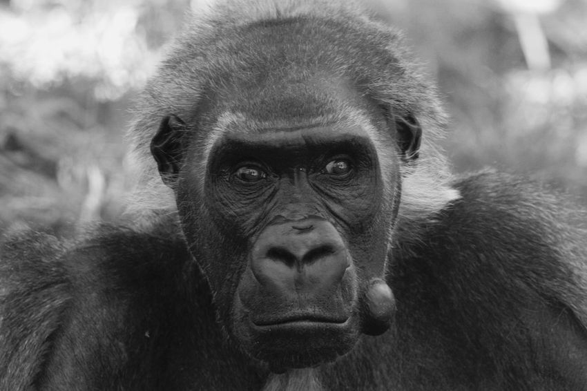 Animal Themes Animal Wildlife Animals In The Wild Close-up Day Focus On Foreground Gorilla Looking At Camera Mammal Monkey Nature No People One Animal Outdoors Portrait