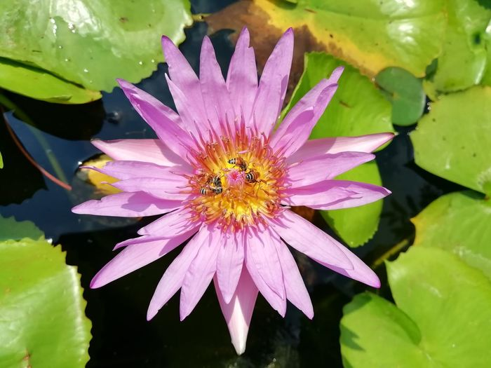 Close-up of purple lotus water lily in pond