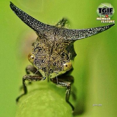 So many thank you @tgif_insects for featuring my photo to your amazing gallery, im so apreciate it, keep tagging Tgif_insects and Tgif_insects_mbr ( member ) for your chance to be featured