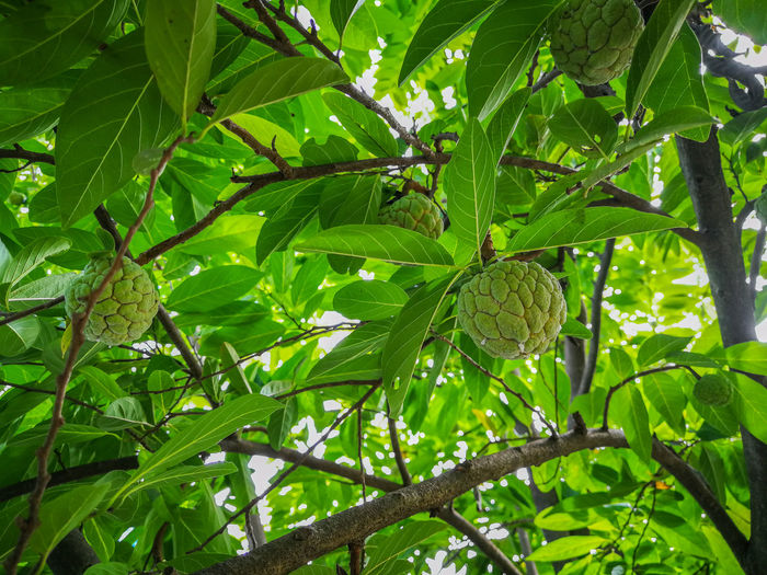 Growth Leaf Green Color Nature Tree Low Angle View No People Beauty In Nature Day Branch Plant Outdoors Freshness Close-up ผลไม้ไทย Custard Apple Wallpapers Backgrounds Food Food And Drink Green Color Healthy Eating กลิ่นอันหอมหวาน