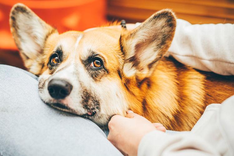 Sadness corgi dog looking like use the sad eyes appeal to his owner.