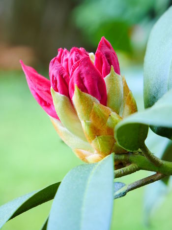 Rhododendron Beauty In Nature Close-up Day Flower Flower Head Flowering Plant Focus On Foreground Fragility Freshness Growth Inflorescence Leaf Nature No People Outdoors Petal Pink Color Plant Plant Part Sepal Vulnerability