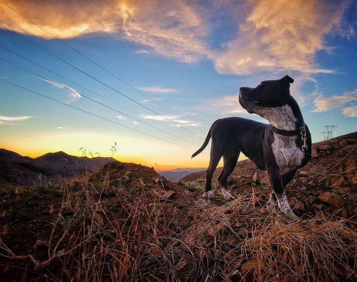 Sunset Roxy Ann Pitbull Love Dogs Of EyeEm January Desert Beauty Desert Landscape Sunset Sky Domestic Animals Silhouette Rural Scene Nature Outdoors Mammal Day No People