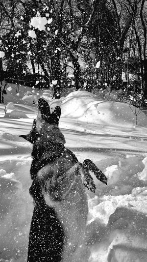 Jumping for joy...and snow.?❄️ Dogs Pet Photography  German Shepherd Everyday Joy Black & White Winter Snow