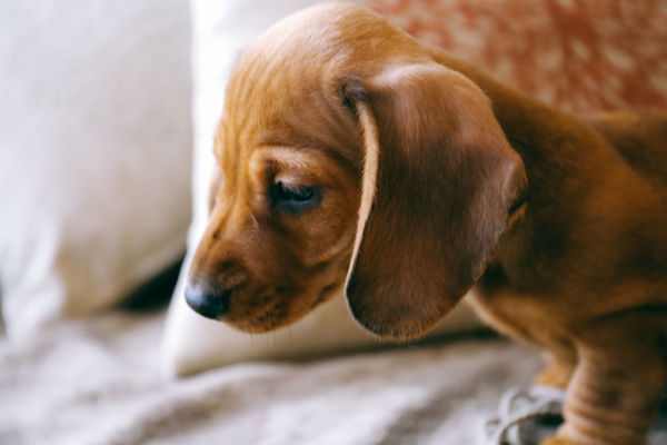 Battling curiosity Adorable Animal Themes Apartment Close-up Curious Cute Dach Day Dog Domestic Animals Home Indoors  Interior Little Looking Down Mammal No People One Animal Pets Puppy Sofa Soft Pet Portraits