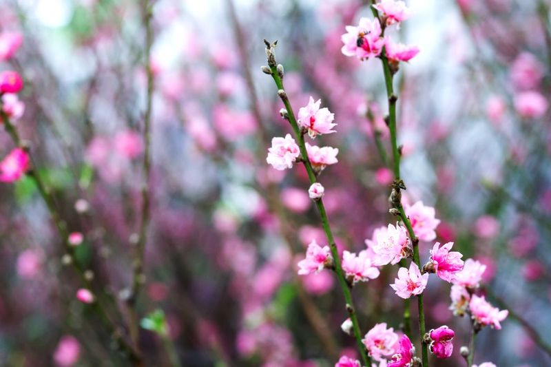 Spring Sakura Spring Flowers Cherry Blossoms Nature Nature_collection Beautiful Nature