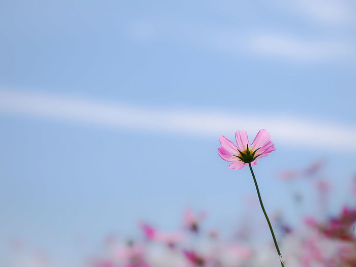 Olympus Botany Flower Lovers EyeEm Nature Lover Sky And Clouds EyeEm MasterclassFlowerDreamlike Beautiful Nature My Favorite Place Fragility Flower Collection Cosmos Pink Flower Beauty In Nature Light And Shadows Light And Shadow From My Point Of View
