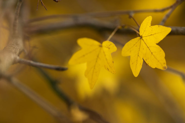 Yellow Close-up Leaf Plant Part Plant Selective Focus Beauty In Nature Vulnerability  Nature Fragility Autumn No People Change Growth Day Focus On Foreground Outdoors Leaves Plant Stem Leaf Vein Maple Leaf Natural Condition