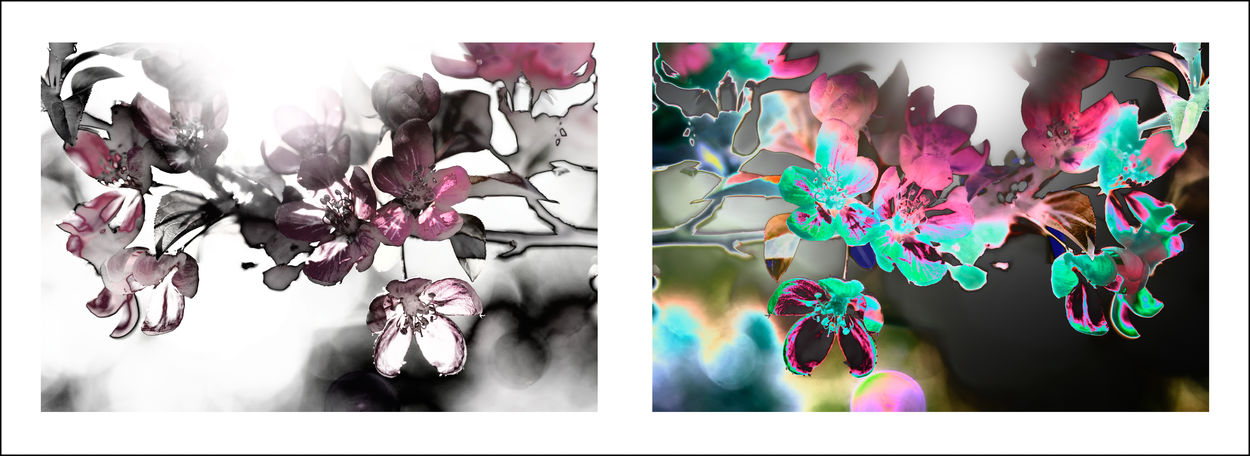 Blossom Cherry Blossoms Cherry Tree Diptych Flowers Diptychs Flower Flowers Pairs Solarization Solarized Flowers