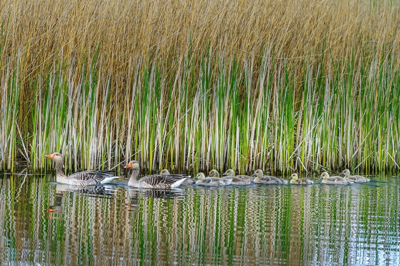 animals in the wild, bird, nature, animal wildlife, water, lake, no people, animal themes, outdoors, young animal, day, grass, swimming