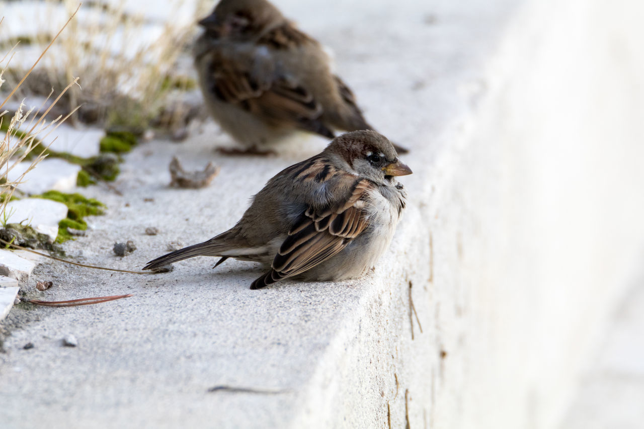 animals in the wild, animal themes, bird, animal wildlife, one animal, nature, day, sparrow, no people, outdoors, perching, close-up