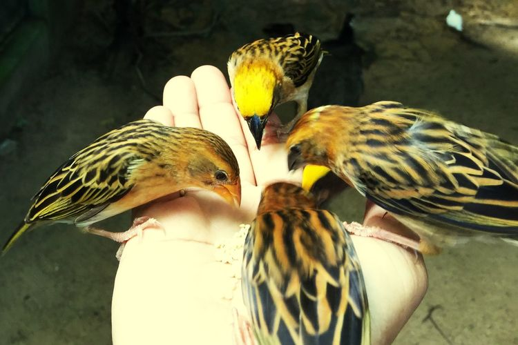 Birds on my hand Animal Animal Themes Vertebrate Animal Wildlife Group Of Animals Bird Animals In The Wild No People Close-up Day Nature Focus On Foreground Togetherness Young Animal Animal Family Parakeet Food Outdoors Sunlight Animal Markings