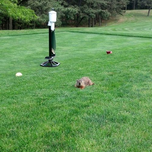 Golf Green Color Golf Course Leisure Activity Green - Golf Course Nature Day Grass Sport No People Groundhog Tee Box Visitor Out Of Place  Watching Me
