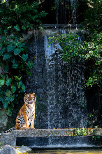 tiger standing front of waterfall Animal Themes Mammal Animal Feline One Animal Cat Plant Vertebrate Tiger Animals In The Wild Animal Wildlife Big Cat Tree Water Nature Sitting Day No People