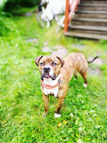 AmericanBulldog Americanpitbullterrier Dog Raivo Koira HuaweiP9 Huawei P9 Brindle Dog Brindle Bulldog Brindle Pitbull Love ♥ First Eyeem Photo