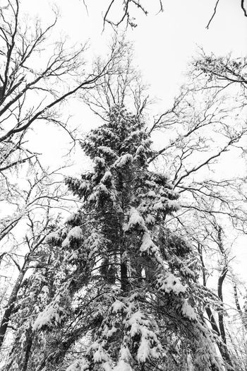 Beauty In Nature Branch Canada Christmas Christmas Tree Forrest Growth Ice Low Angle View Nature Nature No People Norway Sky Snow Snow On The Ground Snow On Trees Snow ❄ Snowing Tree Winter Winter Forrest Winter Nature Winter Nature Outside Wintertime