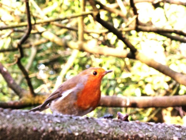Red Robbins Wintertime Share Your Adventure Child Hood Memories Great Day Out Captured Moment Derbyshire Uk Winter Walk Nature On Your Doorstep Feeding Time Country Walks Alvaston Castle
