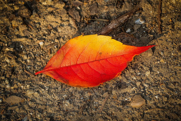 leaf of fire Nature Close-up Plant Part High Angle View Change Field Leaf Day No People Land Vulnerability  Outdoors Plant Autumn Orange Color Fragility Beauty In Nature Dry Leaf Vein Natural Pattern Natural Condition Leaves