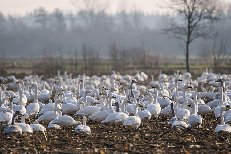 Singschwäne Singschwäne Swan Schleswig-Holstein Bird Whooper Swan Field Maisfeld Focus On Foreground Nature Outdoors Day Landscape No People