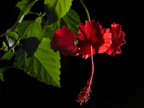 malaysia national flower bunga raya or hibiscus Hibiscus Rosa-sinensis Natural Nature Beauty In Nature Black Background Bunga Raya Close-up Flora Flower Flower Head Flowering Plant Fragility Freshness Growth Hibiscus Leaf National Flower Nature No People Ornamental Plant Petal Plant Pollen Studio Shot Tropical