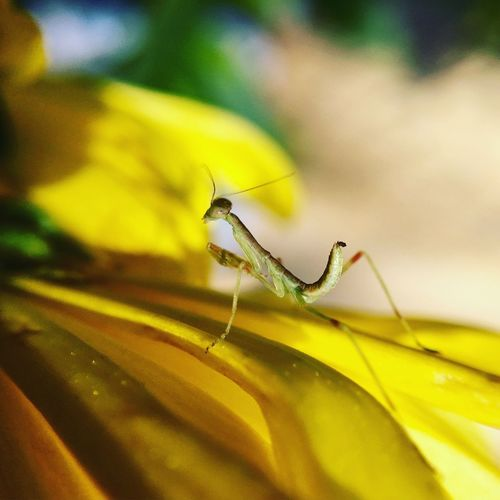 Close-up of praying mantis on yellow flower