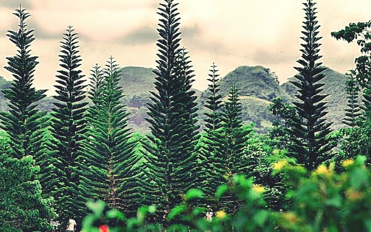 point of convergence Tree Nature Green Color Pine Tree Pinaceae No People Day Outdoors Growth Scenics Beauty In Nature Sky