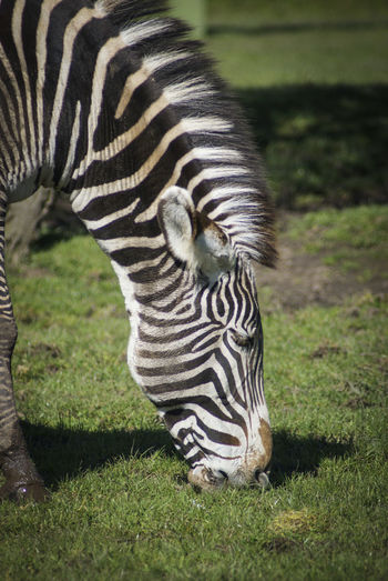 Animal Themes Animal Wildlife Animals Animals In The Wild Conservation Day Endangered Species Grass Mammal Nature No People One Animal Outdoors Zebra Zebra Zoo