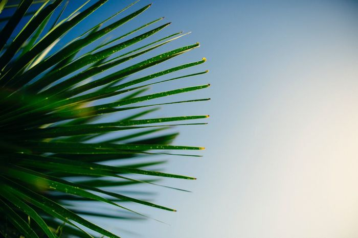 Growth Clear Sky Nature Green Color No People Outdoors Beauty In Nature Needle Day Sky Low Angle View Palm Tree Tree Close-up Freshness