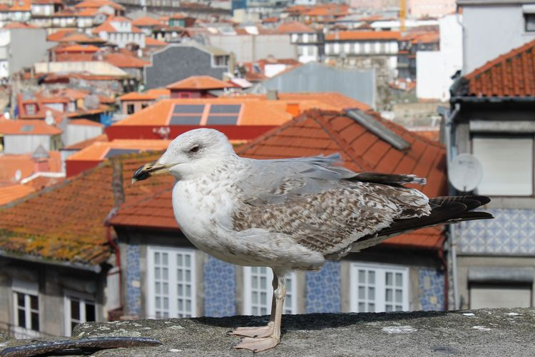 Animal Themes Animal Wildlife Animals In The Wild Architecture Bird Building Exterior Built Structure City Day Frainf Nature No People One Animal Oporto Outdoors Perching Portugal Residential Building Roof