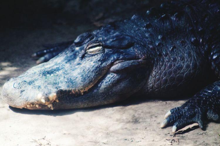 Aligator Sand