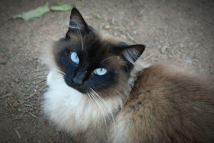 Pets Domestic Cat Domestic Animals Feline Animal Themes Siamese Cat