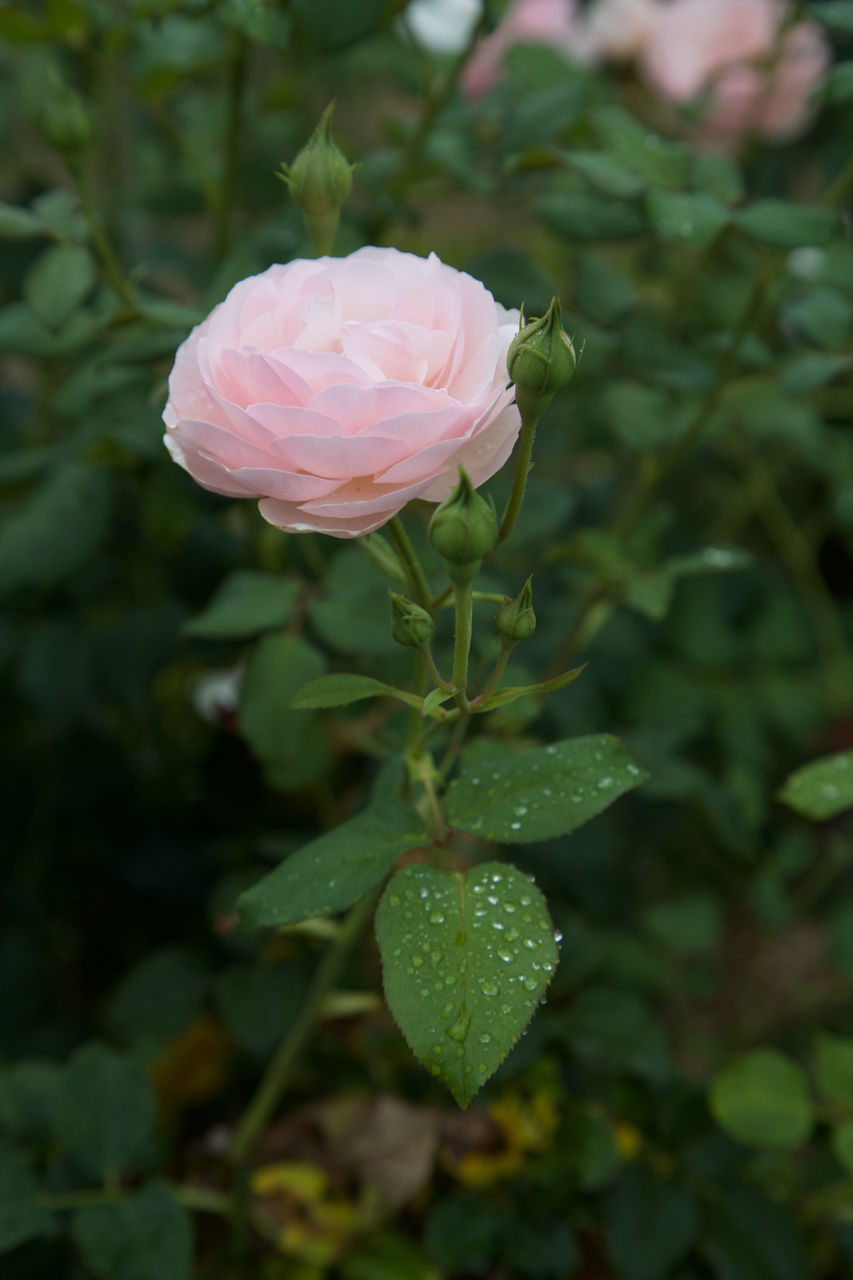 flower, nature, petal, beauty in nature, pink color, fragility, growth, flower head, rose - flower, plant, green color, focus on foreground, no people, close-up, day, freshness, outdoors, leaf, water, blooming