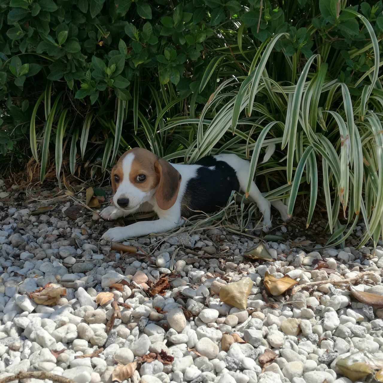 one animal, dog, animal themes, pets, pebble, domestic animals, mammal, day, outdoors, no people, nature, portrait, beagle