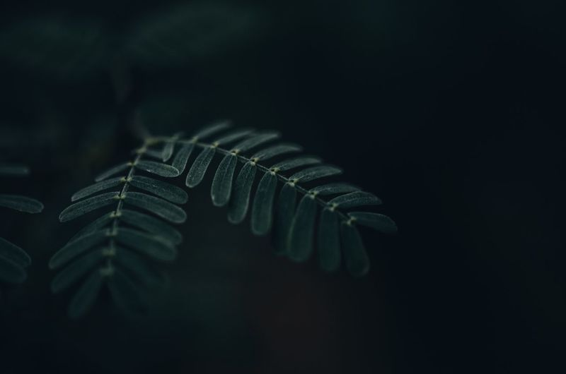 Close-up of fern against black background