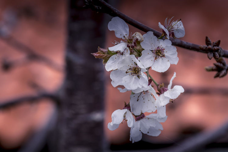 Close-up of cherry blossoms