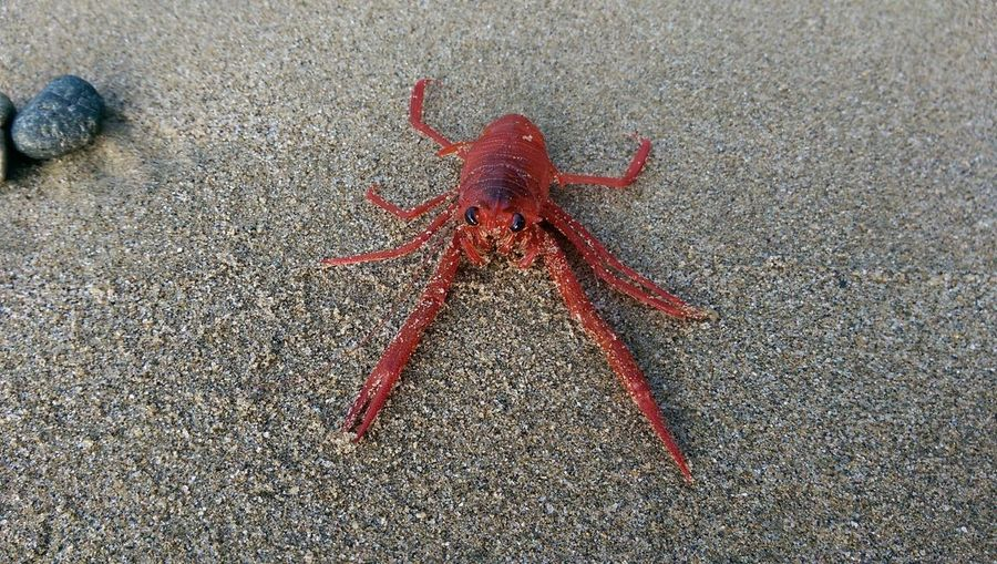 Red Crab Red