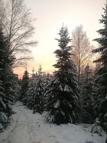 Snowy sunset in Sweden Tree Nature Sky No People Sunset Outdoors Day Beauty In Nature