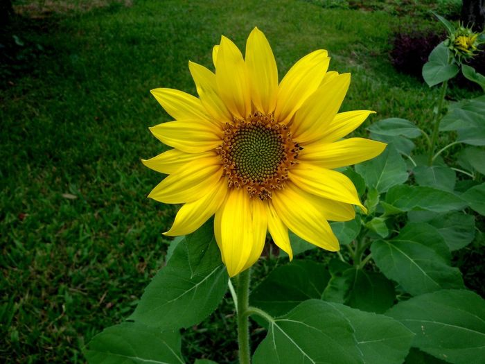 Beauty In Nature Close-up Day Field Flower Flower Head Flowering Plant Fragility Freshness Green Color Land Leaf No People Outdoors Plant Plant Part Sunflower Vulnerability  Yellow