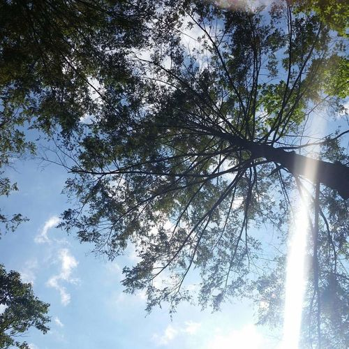 peaceful sunshine Sky And Clouds Sunshine Sun Glare Tree Branch Forest Sky Treetop Tranquility Countryside Tranquil Scene Pine Woodland Growing