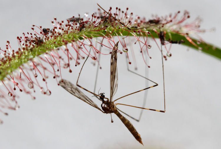 Close-up of insect trapped on cape sundew
