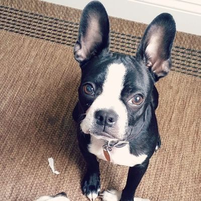 Love this stupid mug. Bostonterrier Puppiesofinstagram Puppy PuppyLove stupidface batears batdog dogsofinstagram