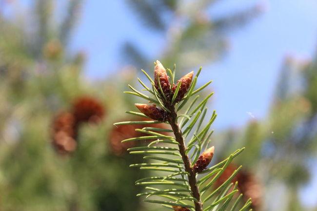 Desfocus Macro Pinus Tree