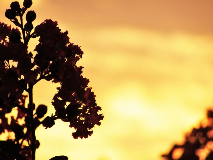 No People Outdoors Growth Nature Plant Lagerstroemia Crape-myrtle Sunlight Cloud - Sky Orange Color Leaf Close-up Tree Sky Sunset Silhouette