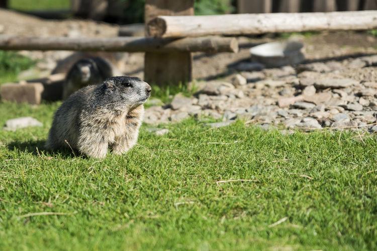 Alm Alpine Fell Grass Grün Im Gebirge Keine Menschen Murmeltier Nagetier Selektiver Fokus Steiermark Tag Tiere Tierwelt Wildtiere Österreich
