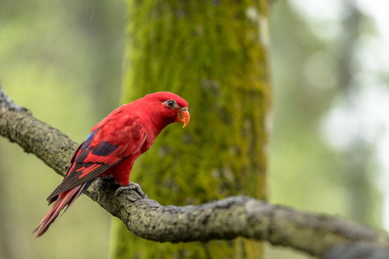 Red Lory Parrot