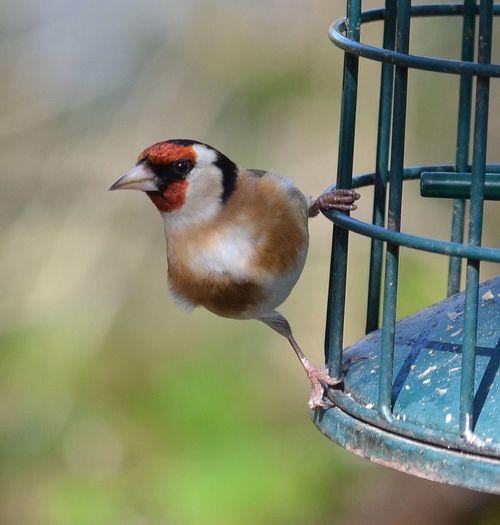 Goldfinch ?