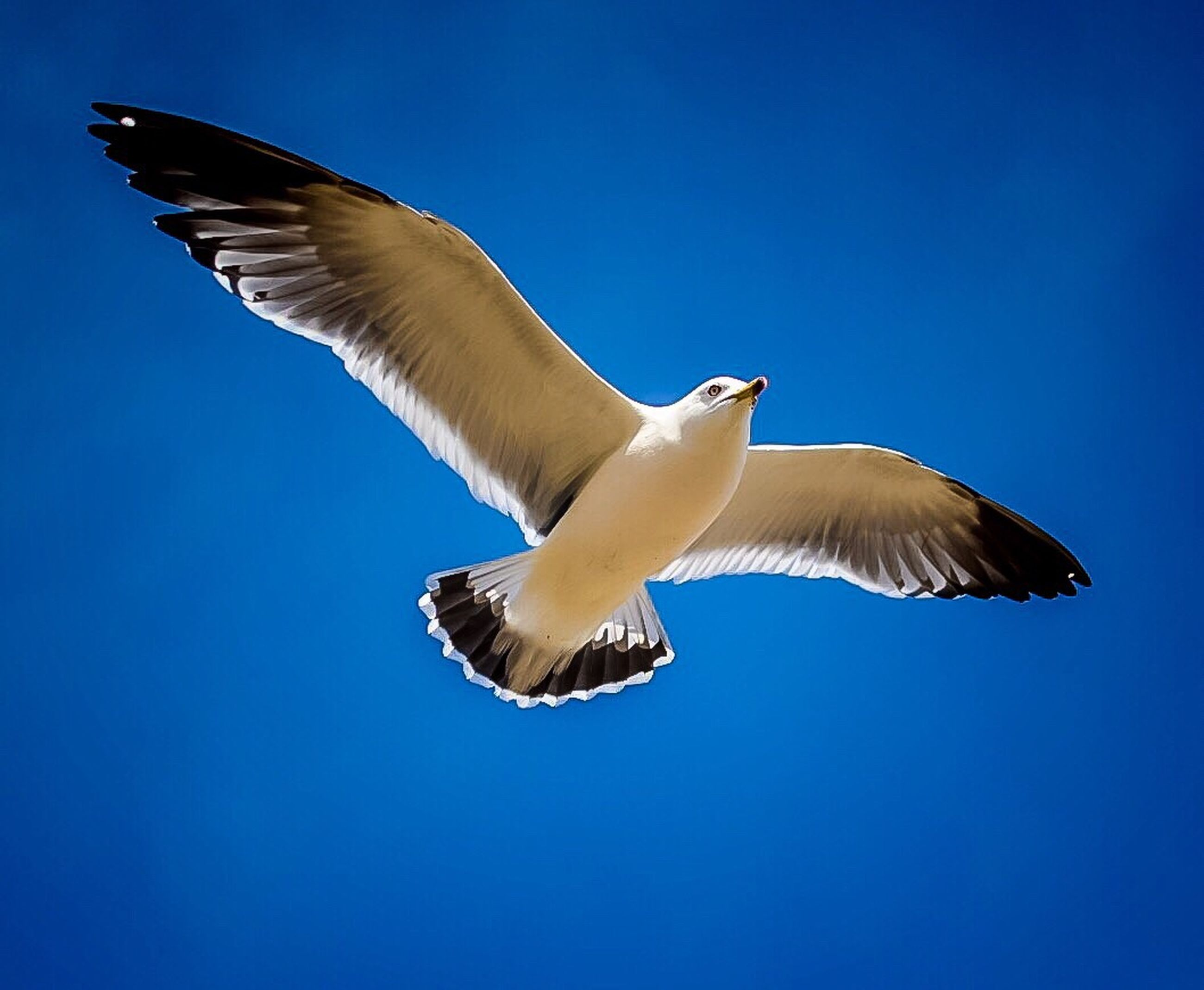 flying, spread wings, animal themes, bird, animals in the wild, blue, clear sky, mid-air, wildlife, low angle view, seagull, one animal, copy space, motion, animal wing, flight, freedom, nature, full length, on the move