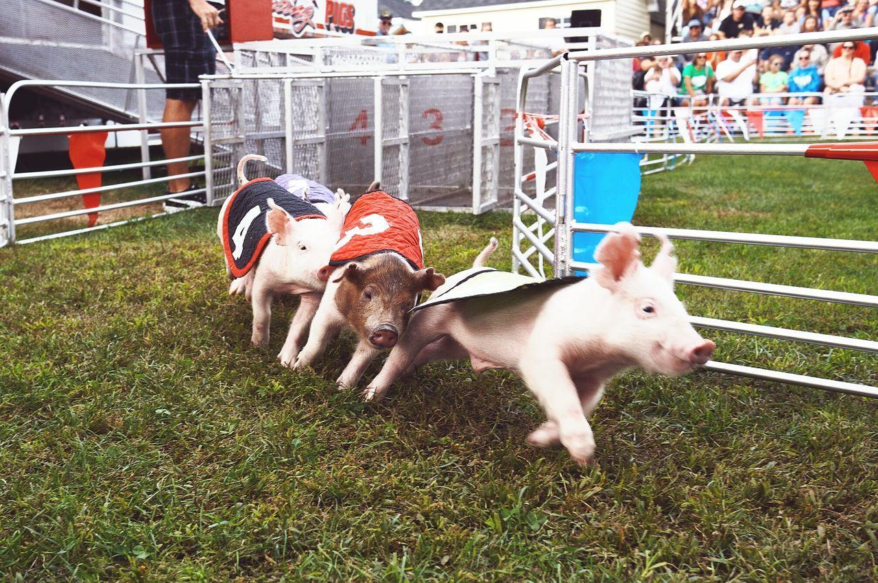 Close-up of pig race