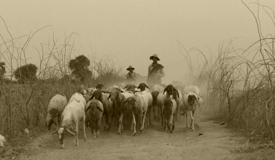 Country Side Animal Themes Beauty In Nature Domestic Animals Large Group Of Animals Livestock Myanmar Nature Sagaing