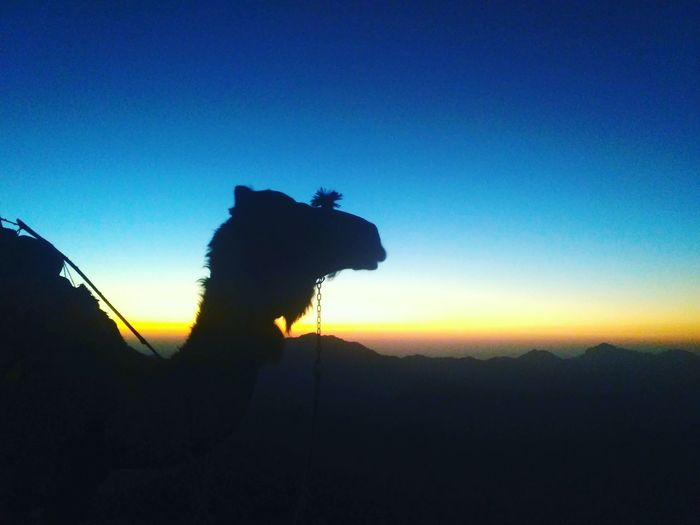 Africa Egypt Camel Silhouette Silhouette Photography Sunrise Horizon Mountain Sinai Egypt Mt.Sinai St.catherine Colorful Sunset Leopard Silhouette Sky Animal Themes Working Animal The Traveler - 2018 EyeEm Awards